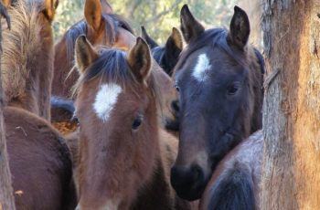 Finding Homes For Trapped Kosciuszko Wild Horses